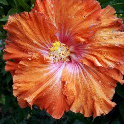 Hibiscus tropical (bloem 20 cm diam)