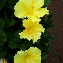 Hibiscus Tropical (geel)