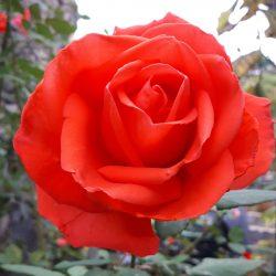 Roos, meegenomen uit Klimmen