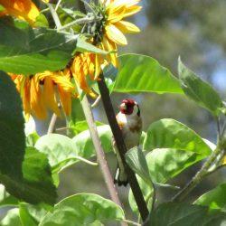 Goudvink tussen zonnebloemen