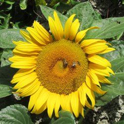 Bijen op zonnebloem